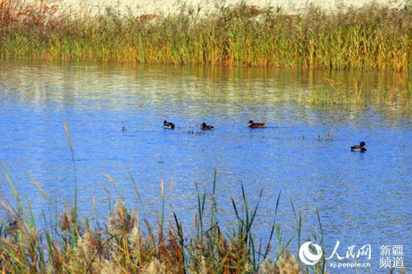 进入深秋以来,在新疆托克逊县白杨河城区段内,成群的候鸟在这里嬉戏觅食,白杨河河畔,秋景迷人如画。 漫步深秋的白杨河,沿着河两边的步行道一路走去,可尽情欣赏到白杨河两岸的美景。泛黄的芦苇随风飘荡,湛蓝的天空浮着片片白云,与白杨河的河水呈现水天一色的美丽景色,让人陶醉。(李靖海)