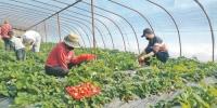 乌鲁木齐县板房沟镇八家户村草莓喜获丰收 - 市政府